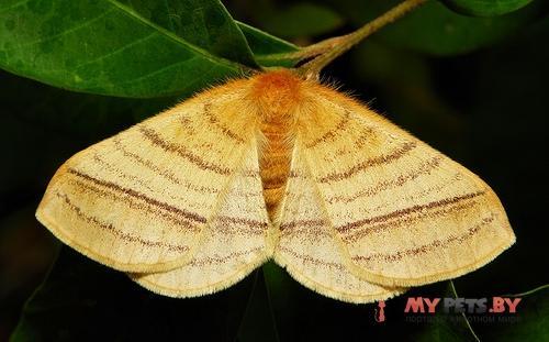 Eupterote lineosa
