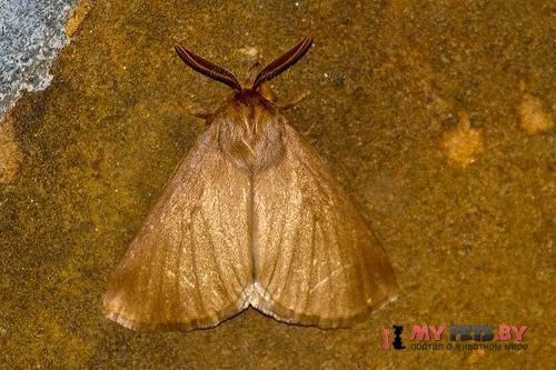 Phyllalia patens
