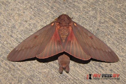 Citheronia sepulcralis