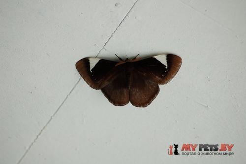 Melanothrix nymphaliaria