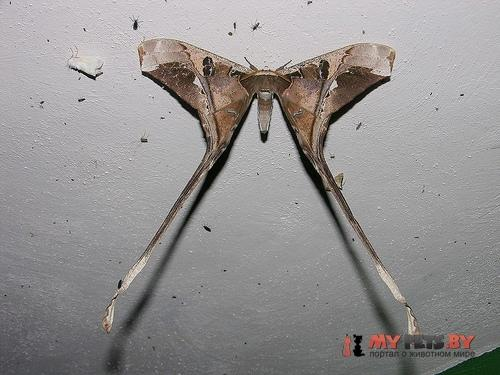 Copiopteryx semiramis