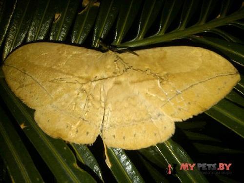 Eupterote pallida