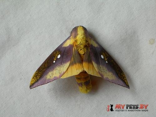 Adelowalkeria flavosignata
