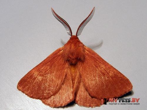 Anthela phoenicias