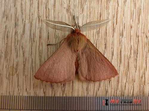 Pterolocera leucocera