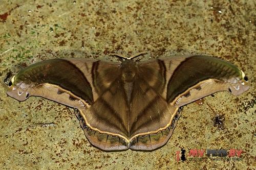 Rhescyntis hippodamia