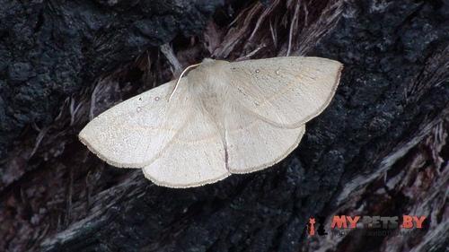 Anthela phaeodesma