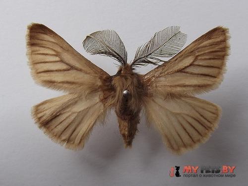 Pterolocera amplicornis