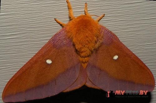 Anisota virginiensis