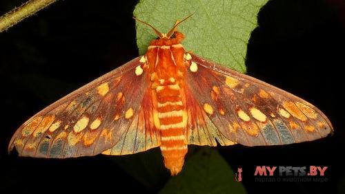 Citheronia andina