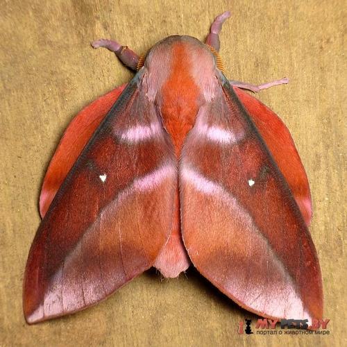 Othorene purpurascens