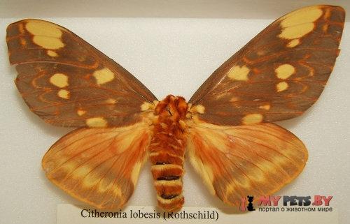 Citheronia lobesis