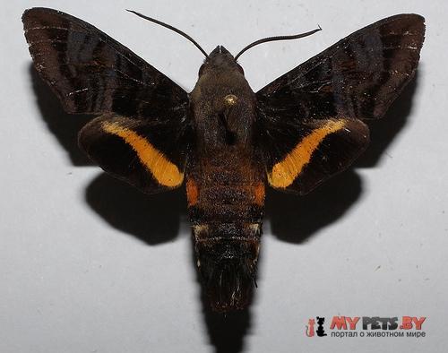 Aellopos ceculus