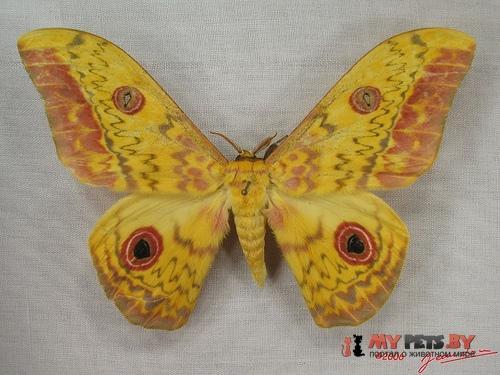 Aurivillius triramis