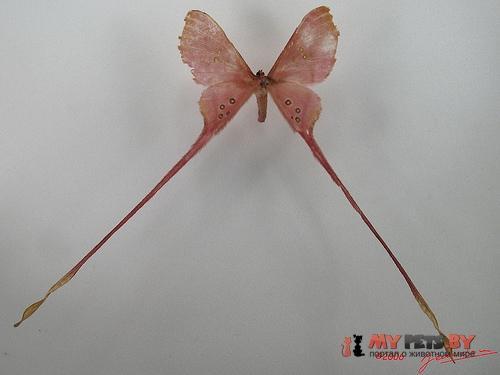 Eudaemonia argus