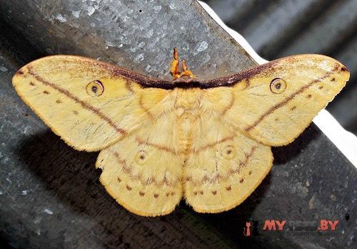 Neodiphthera papuana