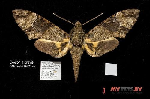 Coelonia brevis