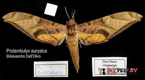 Protambulyx euryalus
