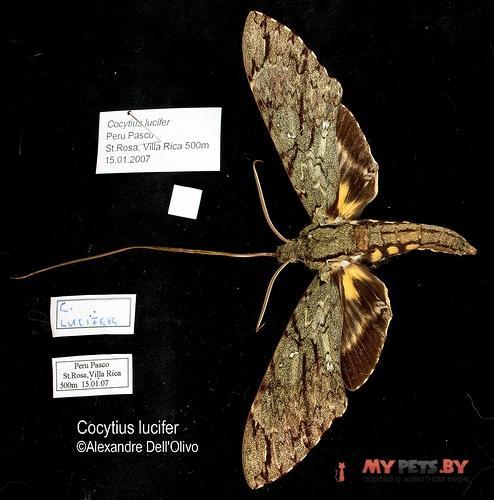 Cocytius lucifer