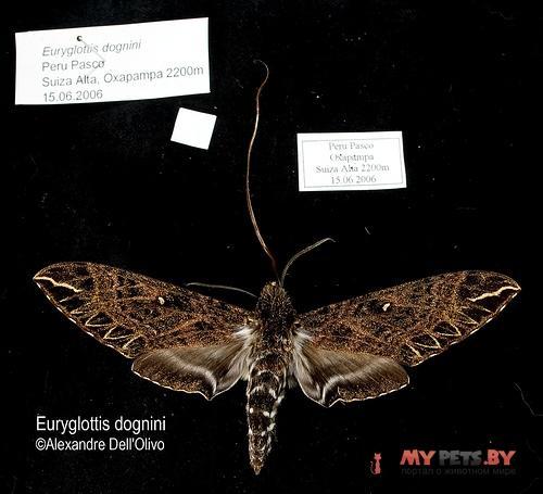 Euryglottis dognini