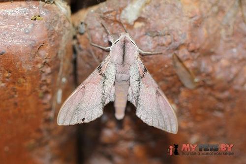Polyptychus baxteri
