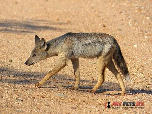 Side-striped jackal /></noscript><br /> <em>Автор фото: © Bernard DUPONT, <a href=