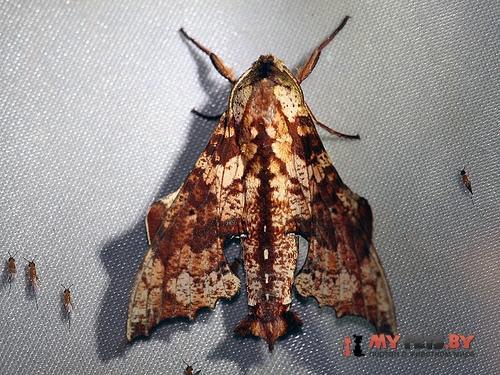 Degmaptera olivacea