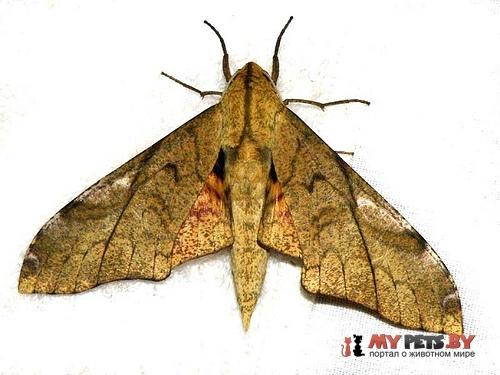 Platysphinx constrigilis