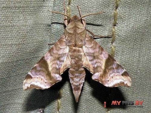 Temnora iapygoides