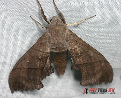 Polyptychus trilineatus