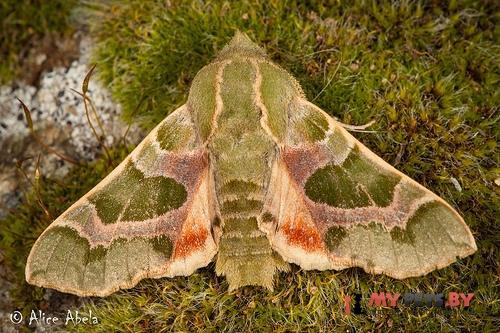 Arctonotus lucidus