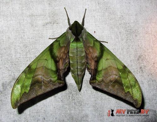 Callambulyx junonia