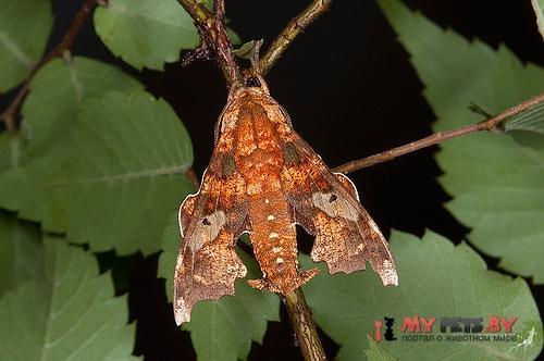 Degmaptera mirabilis