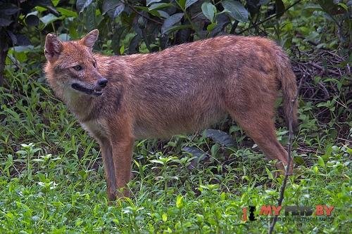 Asiatic jackal