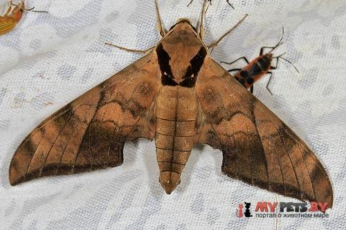 Ambulyx tattina
