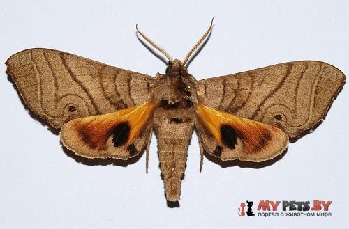 Gynoeryx meander