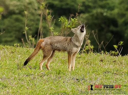 Седая лисица