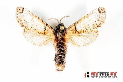 Inguromorpha basalis