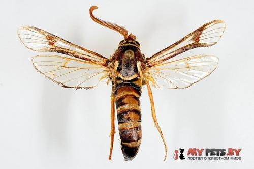 Paranthrene asilipennis