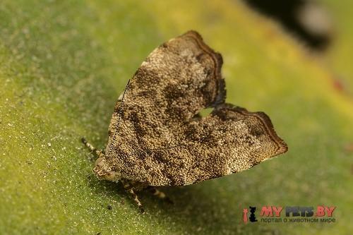 Choreutis yakushimensis