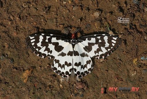 Pterothysanus laticilia