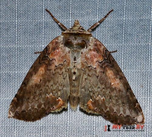 Pseudothyatira cymatophoroides