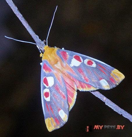 Hypsidia erythropsalis
