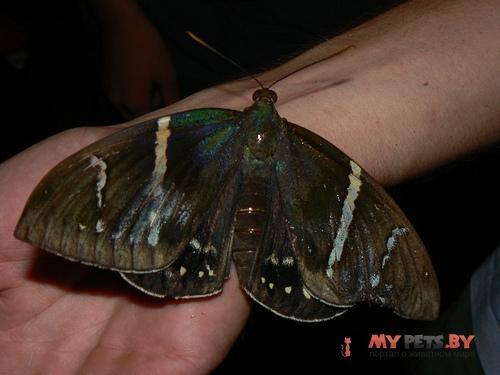 Eupalamides guyanensis