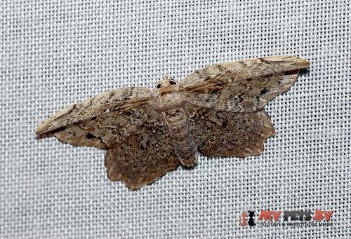 Euphalacra discipuncta