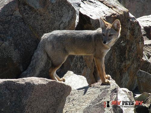 Южноамериканская лисица