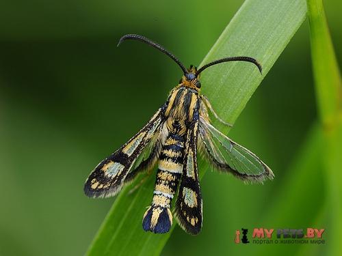 Chamaesphecia tenthrediniformis