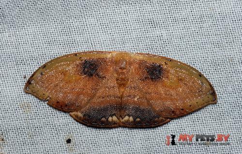 Callidrepana pulcherrima