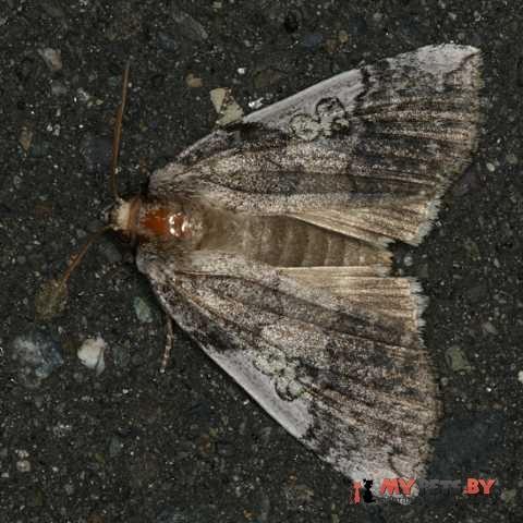 Tethea albicostata