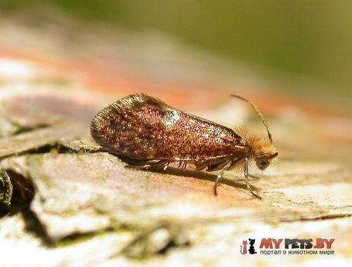 Eriocrania salopiella